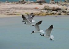 Groupe de piloter les oiseaux noirs et blancs dans les Caraïbe Photographie stock