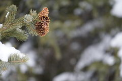 Groupe de Pinecones Photographie stock