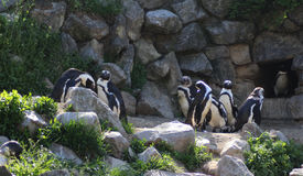 Groupe de pingouin de Humbolt photos libres de droits
