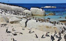 Groupe de pingouins africains Image libre de droits