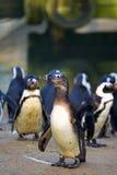 Groupe de pingouins de Humboldt images libres de droits