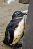 Groupe de pingouins de Humboldt photos libres de droits