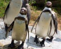 Groupe de pingouins de Humboldt (humboldti de Spheniscus) Photo libre de droits