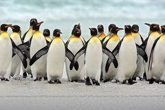Groupe de pingouins de roi revenant ensemble de la mer pour échouer avec la vague un ciel bleu, point volontaire, Falkland Island Photos stock