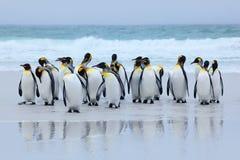 Groupe de pingouins de roi revenant ensemble de la mer pour échouer avec la vague un ciel bleu, point volontaire, Falkland Island images libres de droits