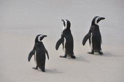 Groupe de pingouins marchant ensemble sur la plage Image stock
