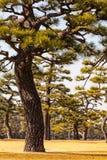 Groupe de pins à Tokyo Gaien Photo stock