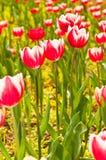 Groupe de plan rapproché de belles tulipes rouges Image stock