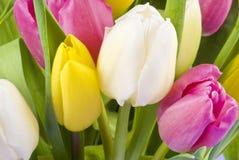 Groupe de plan rapproché de tulipes image libre de droits