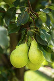 Groupe de poires jaunes et vertes saines mûres Images stock