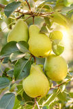 Groupe de poires mûres sur le branchement d'arbre Image stock