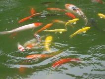 Groupe de poissons colorés dans l'étang Photo libre de droits