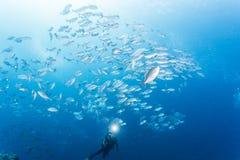 Groupe de poissons de cric Photographie stock libre de droits