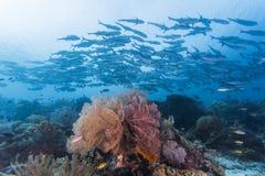 Groupe de poissons de cric Photo libre de droits
