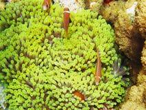 Groupe de poissons de Nemone Images libres de droits