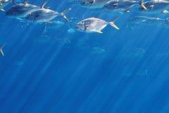 Groupe de poissons de pompano Photos libres de droits