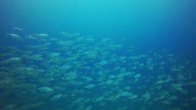 Groupe de poissons nageant banque de vidéos