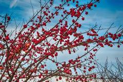 Groupe de pommes d'hiver sur les branches d'arbre nues Photos libres de droits
