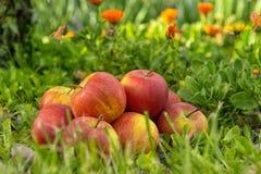 Groupe de pommes dans l'herbe, près d'un arbre Images stock