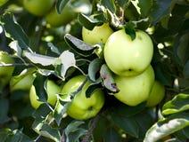 Groupe de pommes sur un arbre Photos libres de droits