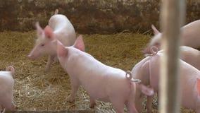 Groupe de porcs clips vidéos