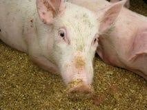 Groupe de porcs en basse cour Photographie stock libre de droits