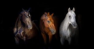 Groupe de portrait de cheval sur le noir image stock