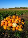 Groupe de potirons jaunes oranges sur un champ d'herbe verte Récolte d'automne dans le jour ensoleillé chaud Carte de voeux de Ha image stock