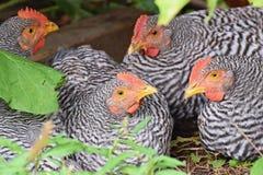 Groupe de poulet, Amrocks, race d'Amrox photographie stock