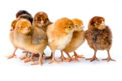Groupe de poulets bruns nouveau-nés Photo stock