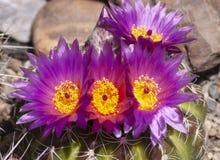 Groupe de pourpre et de fleurs jaunes de cactus de boule photos libres de droits