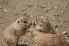 Groupe de prairie Marmot à queue noire - ludovicianus de Cynomys Images stock