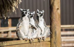 Groupe de prendre un bain de soleil de trois lémurs coupé la queue par anneau Image stock