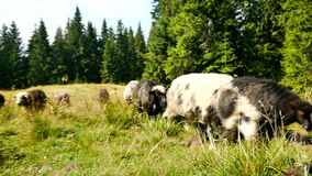 Groupe de pâturage de moutons banque de vidéos