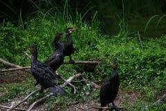 Groupe de quatre grands cormorans sur des branches Photo stock