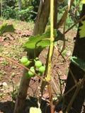 Groupe de raisin Photographie stock libre de droits