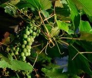 Groupe de raisin Photos stock
