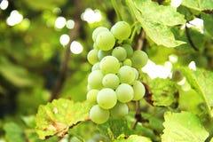 Groupe de raisin blanc dans le vignoble photo libre de droits