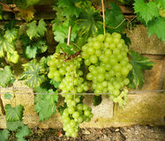 Groupe de raisins Image libre de droits