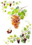 Groupe de raisins Photos libres de droits