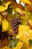 Groupe de raisins Photographie stock libre de droits
