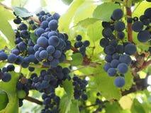 Groupe de raisins Photographie stock