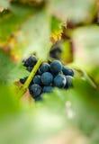 Groupe de raisins Photo libre de droits