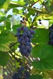 Groupe de raisins Image stock