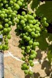 Groupe de raisins blancs Images libres de droits
