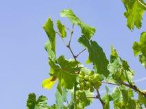 Groupe de raisins blancs non mûrs verts dans des feuilles s'élevant sur des vignes contre le plan rapproché de ciel bleu, foyer s image stock