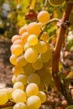 Groupe de raisins de cuve mûrs verts sur la vigne Images stock