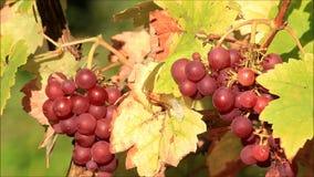 Groupe de raisins de cuve mûrs sur le buisson banque de vidéos