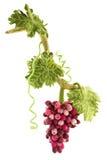Groupe de raisins de laine felted Photographie stock libre de droits
