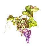 Groupe de raisins Illustration d'aquarelle d'aspiration de main Illustration d'aquarelle d'aspiration de main Photo libre de droits